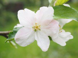 Golden Delicious – Auslöser für Allergien – Warum?