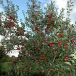 Apfelbaum-mit-Fruechten-150x150.jpg
