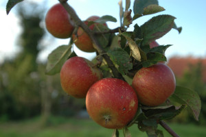 Apfelfrucht_10-300x200.jpg