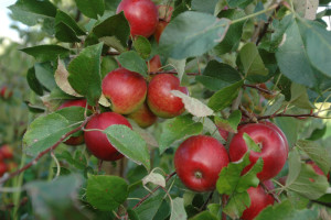 Apfelfrucht_5-300x200.jpg