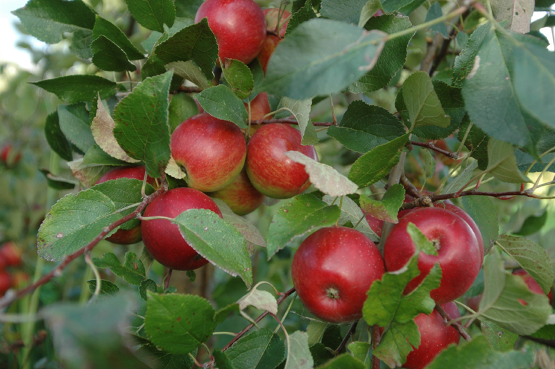 Apfelfrucht_5.jpg