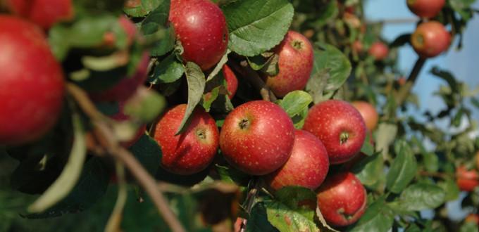 Apfelfrucht_6-680x330.jpg